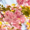 4月上旬:八重桜が咲き誇る桜新町周辺をお写んぽ。其の壱