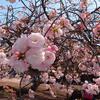 日本ウズベキスタン協会お花見会のご案内 ウズベクの美男美女やかわいい子供たちも参加