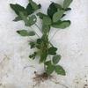 ダイソー早生枝豆の収穫!栽培開始時期による違いは?