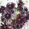 黒い花 黒法師 Aeonium
