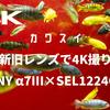 カワスイ(川崎水族館)で、新旧レンズで4K撮り。SONY α7III × SEL1224G × MD24mm F2.8