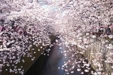 桜の見頃はいつ?花見ランキング1位の「目黒川桜まつり」に屋台を出してみて感じた、出店の魅力とは