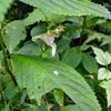 ハガクレツリフネ 葉は雨除け日よけ