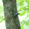 信州・戸隠の薄暗い森で動き回るゴジュウカラ