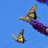 ブッドレアは蝶に大人気&初めて見たヘビトンボ&くーのフィラリアのお薬と脚腰を強くするサプリ♪