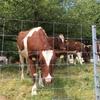 スイス滞在中🇨🇭 今日の出会いは牛と豚そして何故かアルパカ?
