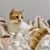 猫アレルギーの夫に厳しい愛猫w