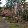 早咲きの桜とプラム