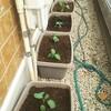プランター栽培の開始