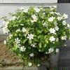 クチナシ、キンシバイ、ビョウヤナギの開花