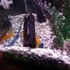 我が家のカエルレウス!飼育方法や混泳、性格について 熱帯魚図鑑Vol.3