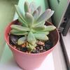 長雨被害その2 水はけのよい土と鉢底石がよい影響?多肉植物