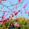 北野天満宮で梅を見てきた