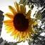 向日葵の黄色