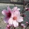 アーモンドの花! 桜にそっくり♪