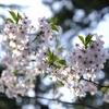 弘前の桜と大潟村の桜