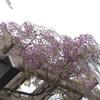 藤の花が見頃の前田森林公園に行ってきた