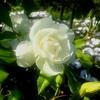 バラの棘と花言葉