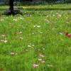 手賀沼遊歩道のコスモス畑