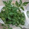 ミニトマトの苗を購入