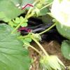 レッドオーレ9日目で発芽、オオマツバウンランの種まき、いちご赤くなってきた