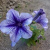 青いペチュニア ブルーダディー