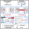 脊髄の再生を促進するグリア細胞の性質変化