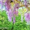 『令和』始めは「藤」づくし/藤城清治に藤の花✾