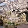 両親と桜、彦根城と八幡掘り