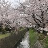 京都の桜、いと美し