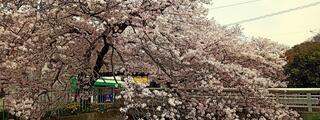 まだまだ余裕の宇治川の桜、爆裂満開事態宣言