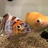日々の癒しにおすすめ 魚の飼育