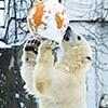 円山の人気者・ホッキョクグマのピリカが婿入り 来月帯広へ