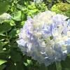 京都府立植物園のアジサイの絵を描く。スケッチ初心者