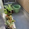 最近のベランダ菜園