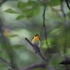大型ツグミを見たものの撮影できず(大阪城野鳥探鳥 20200927 5:30-14:05)