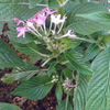 ペンタスピンクがクロアゲハの幼虫に食われてしまった。