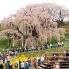 令和元年投稿第1号 ~日本3大桜の一つ「三春滝桜」を撮る~