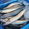 10.25 秋刀魚、マグロ三昧。