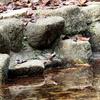 水を飲むヤマガラ