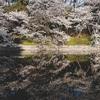 松山市の桜