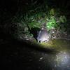【3人子連れ】奄美大島夏休み旅行6〜ナイトツアーでクロウサギを見る
