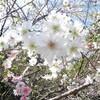 十月桜(ジュウガツザクラ)新宿御苑
