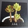☆ミニチュアの多肉植物☆八千代と黄金の成る木を作ろう