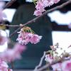 京都・百万遍 - 知恩寺のふじ桜