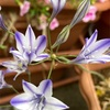 【おまけ】トリテレイア開花🌸