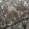もしも、桜の花が