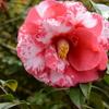 正義のしっかりとした花