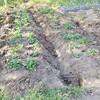 のらぼう菜の収穫が追いつかない!!ウェルシアでTポイント使って面白そうなもの買ったった!!他、ジャガイモの芽かきと追肥と家庭菜園の様子