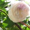 薔薇の茎をにぎる